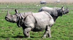 Assam Wildlife Tour Package – Guwahati, Pobitora, Kaziranga Travel Agents. Call@ 9971482795.