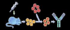 Anti-CD19 Therapeutic Antibody, Blinatumomab – Creative Biolabs