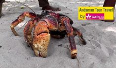 Robber crab (Birgus Latro) also popularly known as  Coconut Crab, is the biggest arthropod in th ...